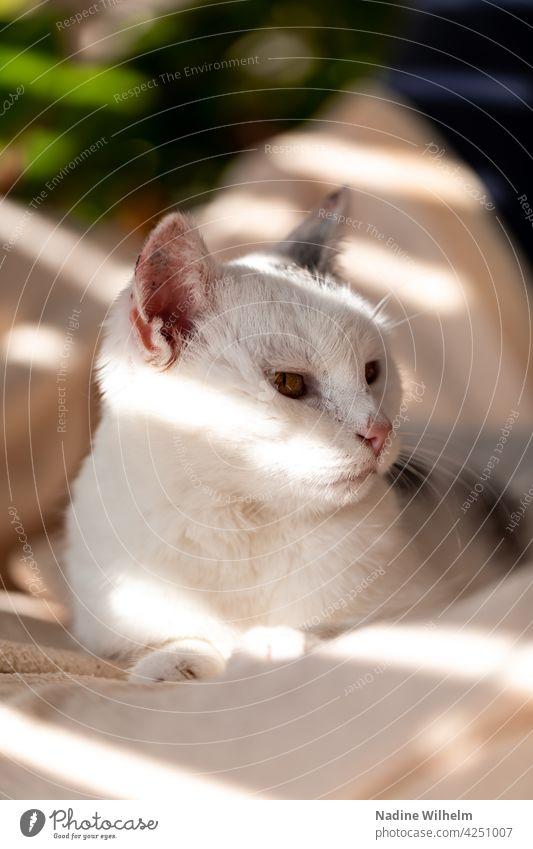Minnie the cat Katze Fell katzenhaft fluffig Haustiere schön niedlich bezaubernd weiß grau Licht Lichtspiel Innenaufnahme warm Sonnenlicht