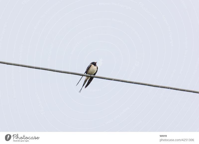 Rauchschwalbe sitzt auf einer Stromleitung im Regen Standschwalbe Hirundinidae hirundo rustica Zugvogel Tier Tier in freier Wildbahn Tiermotive Vogel