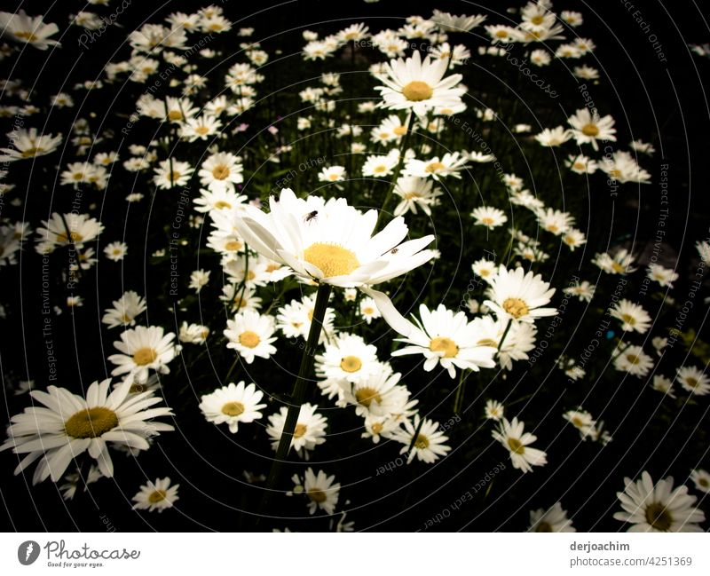 * 800 * Ein paar Mageriten zum Sommeranfang, mit dunklem Hintergrund und kleiner Fliege. Blumen Farbfoto Landschaft Fahne blühen natürlich wachsen pflanze Natur