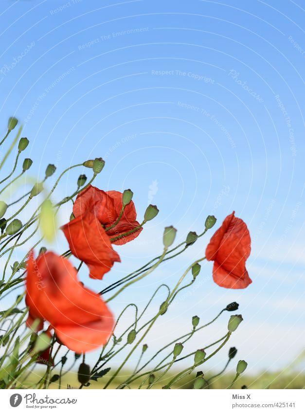 Mohnblumen Pflanze Sommer Wetter Schönes Wetter Blume Blüte Blühend Wachstum rot Mohnblüte Mohnfeld Mohnkapsel Feld Wiese Blumenwiese bewachsen Farbfoto