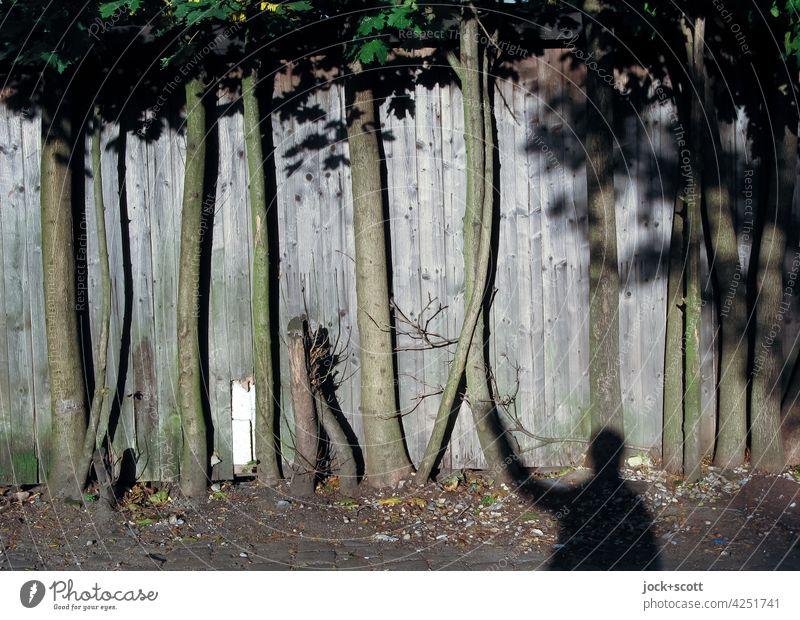 Eins mit den Bäumen am Holzzaun sein Laubbaum Baumstamm Sonnenlicht Schatten Mensch Sichtschutz Verbindung Lattenzaun Erdboden Abgrenzung Gestalt Kontrast
