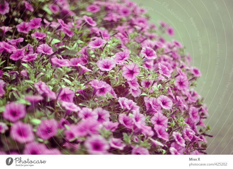 petit petunia Garten Pflanze Sommer Blume Blüte Topfpflanze Balkon Blühend Duft violett stinkend Petunie Balkonpflanze Gartenpflanzen bewachsen Farbfoto