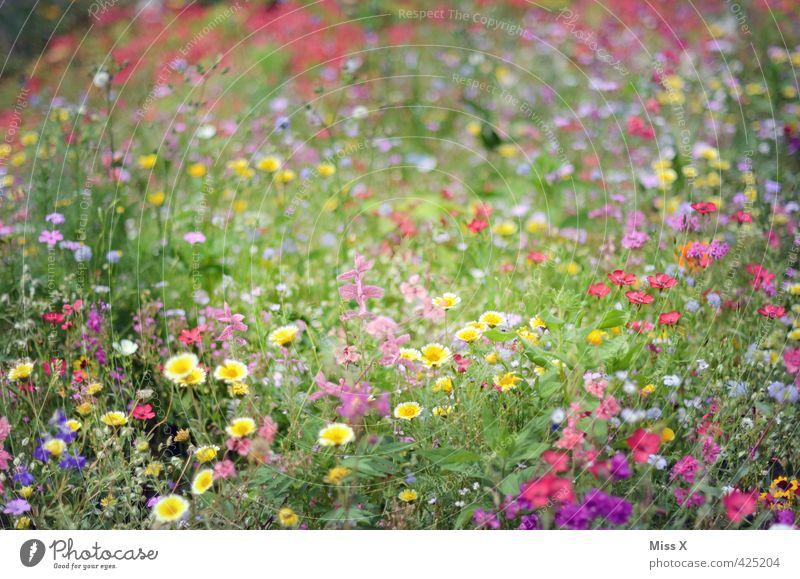 Bunt Frühling Sommer Blume Blüte Wiese Blühend Duft positiv Stimmung bewachsen Blumenwiese sommerlich Sommertag Wiesenblume Garten Farbfoto mehrfarbig