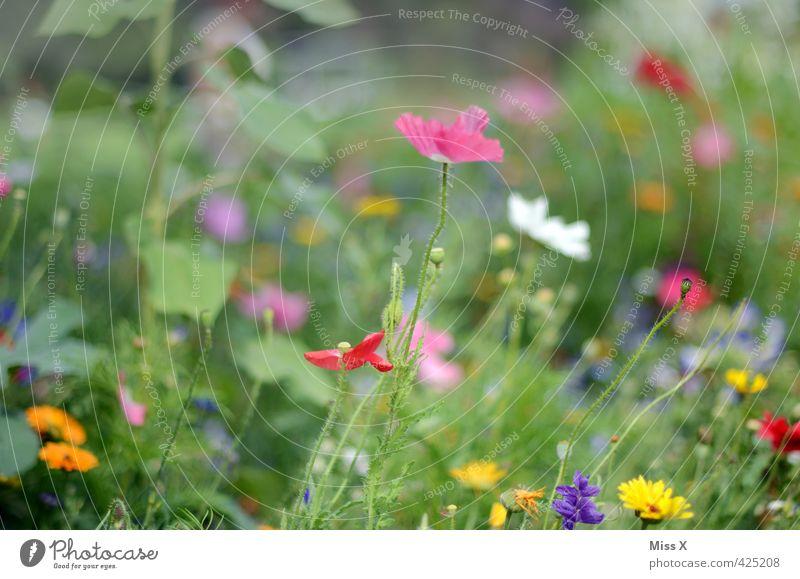 noch bunter Pflanze Frühling Sommer Blume Blüte Blühend Duft Wachstum mehrfarbig Stimmung Blumenwiese Wiese Wiesenblume Mohn Mohnblüte Farbfoto Außenaufnahme