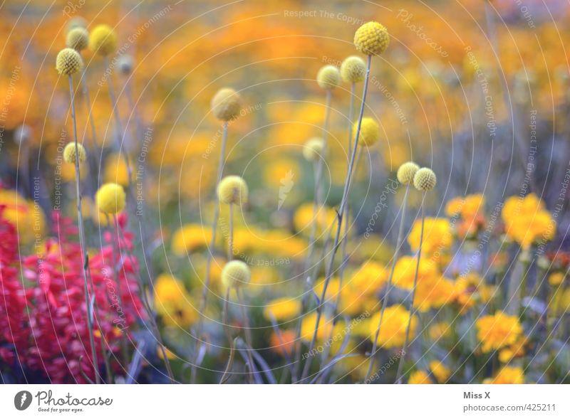 Bommelbunt Natur Pflanze Frühling Sommer Blume Blüte Garten Park Wiese Blühend Duft Wachstum mehrfarbig gelb Quaste Farbfoto Außenaufnahme Muster Menschenleer