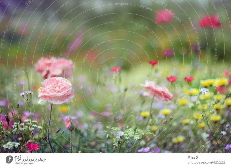 Bunter Garten Pflanze Frühling Sommer Blume Blüte Blühend Duft rosa Stimmung Mohn Mohnblüte Park Beet Blumenwiese Wiesenblume Farbfoto mehrfarbig Außenaufnahme