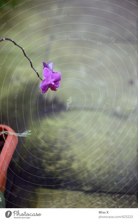 lila Garten Pflanze Blume Blüte Blühend Duft verblüht Wachstum Stimmung Einsamkeit hängen lassen Orchidee Stengel Blumentopf Farbfoto Innenaufnahme Nahaufnahme