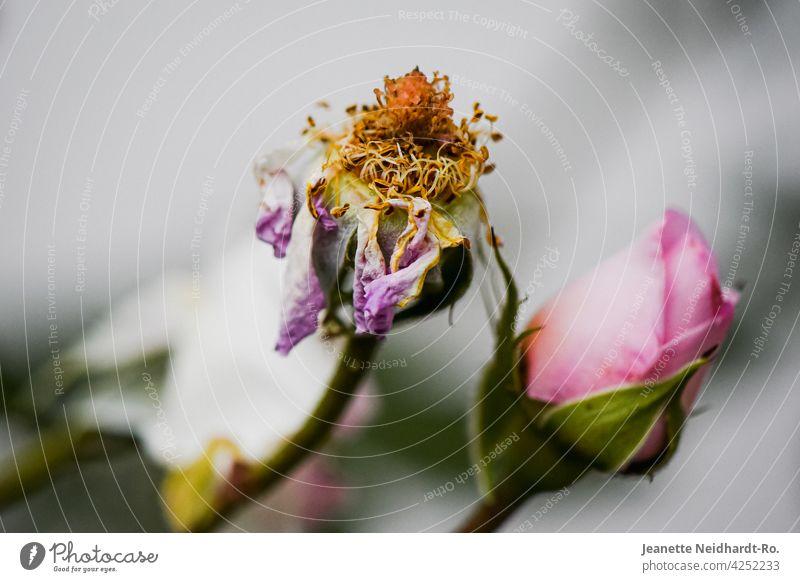 Verblühte Rose - Vergänglichkeit und Schönheit verblüht verblühen verblühend rosa Blume Gartenblume Blüte Pflanze Natur Außenaufnahme Farbfoto Menschenleer