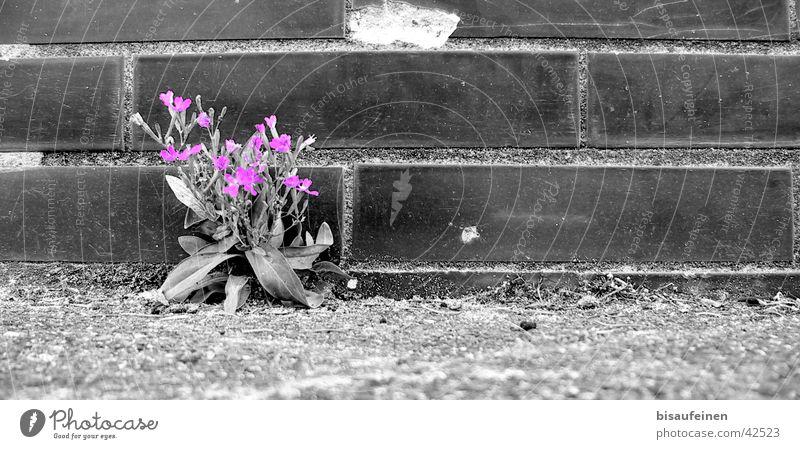 Zwischen Beton und Asphalt... weiß Blume schwarz Blüte Mauer violett Asphalt Backstein