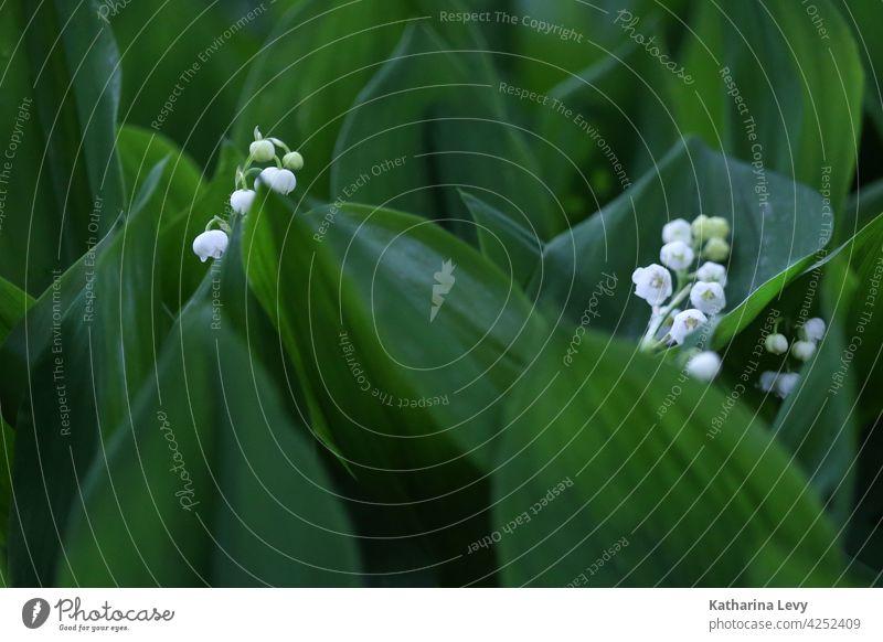 Maiglöckchen Frühling Blätter grün Grünpflanze Wald giftig giftige Pflanze weiß Blütenknospen Low Key Waldboden Blume Liliengewächse Giftpflanze convallaria