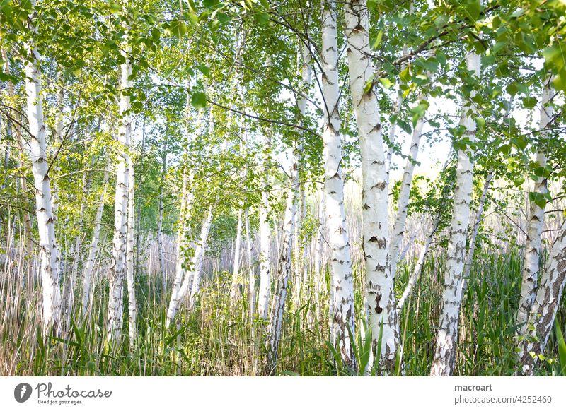 Birken am See Bäume laubbäume laubbaum see gewässer Birkenwald Wäldchen natur Landschaft grün gräser idylle sommer frühling
