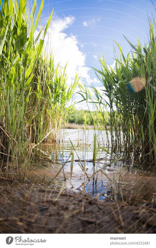 Schilf am See Froschperspektive wasser wellen gewässer frösche lebensraum idylle ökologisch blauer himmel wolken sommer wetter lensflare grün