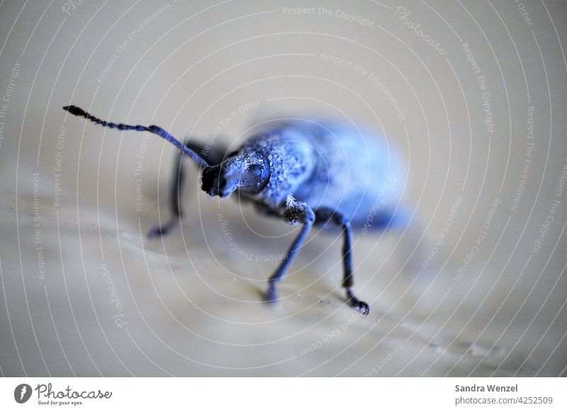 Dickmaulrüssler Schädling Käfer Befall Pflanzenschädling Insekten Larven