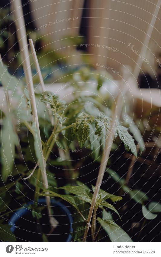 Tomaten-Jungpflanzen in einem Karton Tomatenpflanze Pflanze grün Garten Anzucht Topf Töpfe gärtnern Hochbeet Blätter Blatt Gartenarbeit Pflanzenteile Gemüse