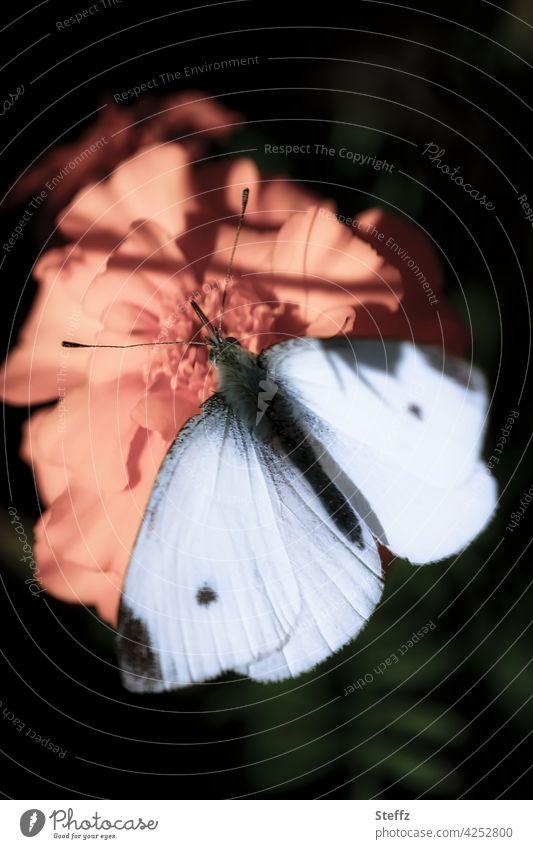 Kleiner Kohlweißling im Licht und Schatten Schmetterling kleiner Kohlweißling Weißling Falter Tagfalter weiße Flügel Schmetterlingsflügel Romantik romantisch