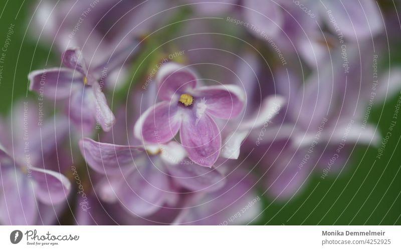 Flieder Liebe Natur Frühling violett Pflanze Blüte Blühend Garten Nahaufnahme Duft Makroaufnahme Farbfoto lilac Sommer Fliederbusch Mai Umwelt Detailaufnahme