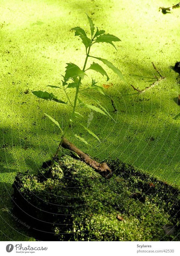 Ganz schön grün Pflanze Wasserlinsen Moor Teich Urwald Moos