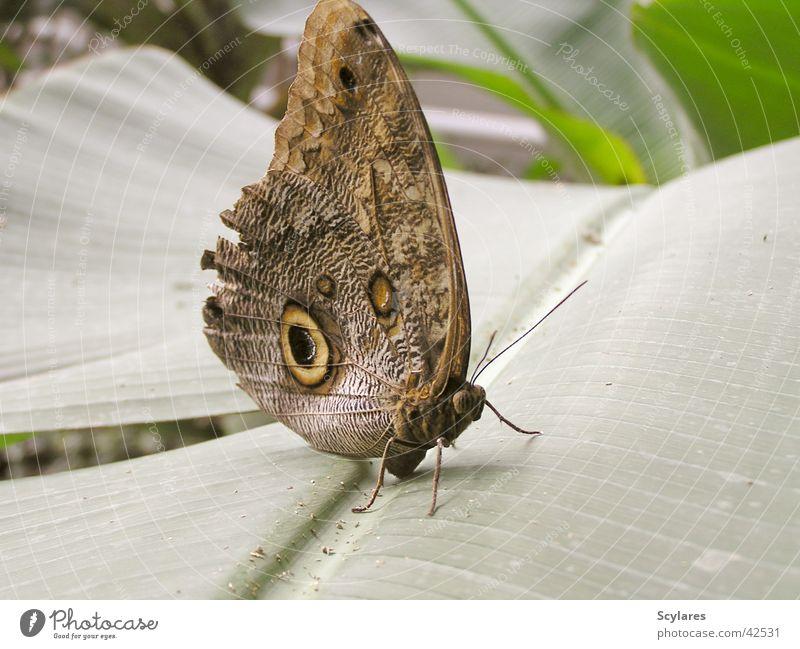 Blauer Falter in Braun Schmetterling groß faszinierend Insekt Fluginsekt Urwald Makroaufnahme