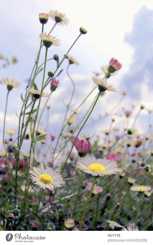 Spanisches Gänseblümchen Erigeron karvinskianus Zierpflanze Garten weiß rosa krautig Dauerblüher Korbblütengewächs flächendeckend korbblütler Himmel