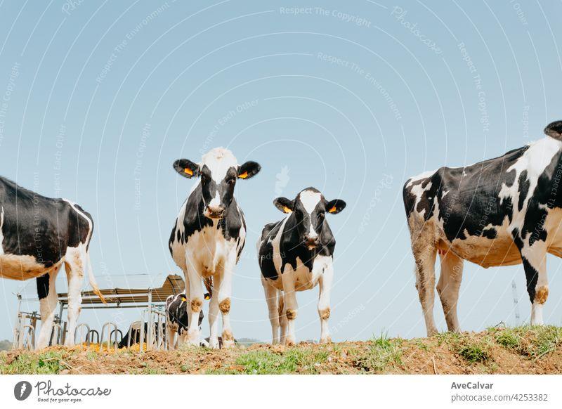 Ein Haufen weißer und schwarzer Kühe auf dem Lande, die an einem sonnigen Tag in die Kamera schauen Kuh Horizont Wiese Zusammensein Molkerei Glück Herde
