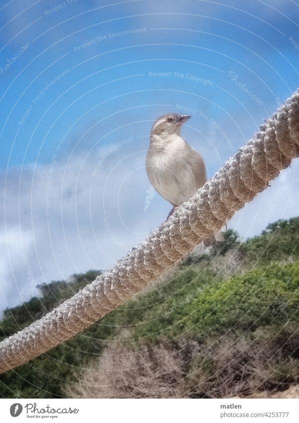 Strandspatz Sperling Dünen seiö schönes wetter neugier Außenaufnahme Natur Himmel blau