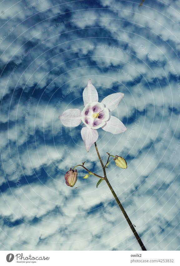 Instabil Akelei Blüte Natur Garten Himmel Frühling Blume Nahaufnahme Außenaufnahme Farbfoto Tag Textfreiraum oben Frühlingsgefühle Vergänglichkeit weiß blau