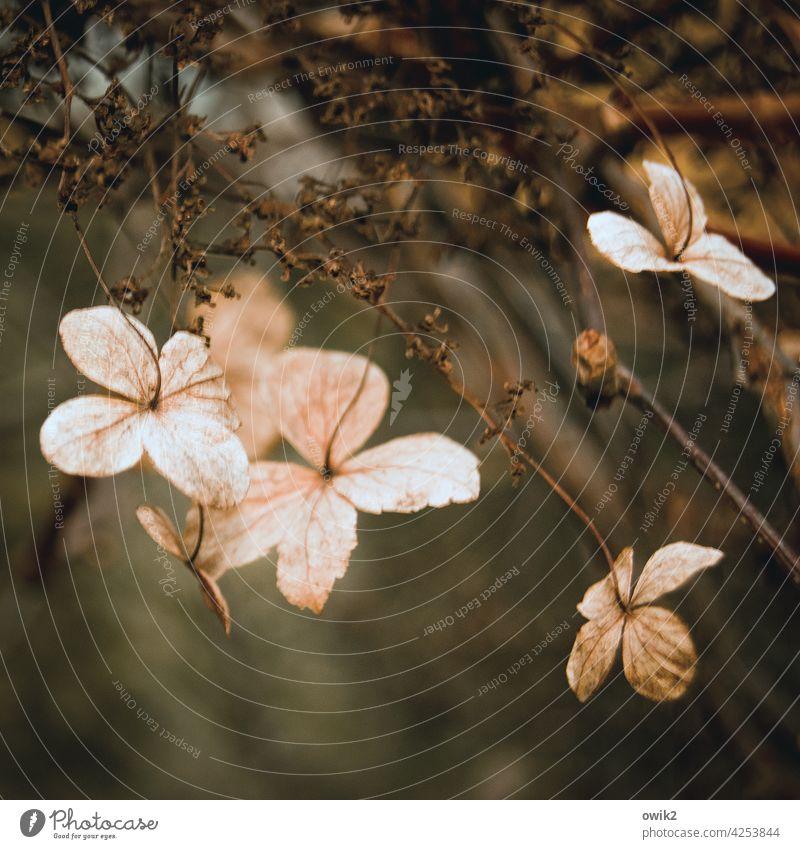 Kleine Schirme Hortensie Farbfoto zerbrechlich Außenaufnahme Menschenleer Sträucher Blüte Natur Pflanze Detailaufnahme Zierpflanze filigran klein Hecke