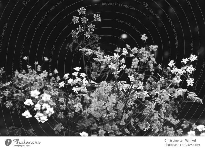 weiße Blüten des Wiesenkerbels vor dunklem Hintergrund Kerbel Doldengewächs Anthriscus sylvestris Pflanze Schwarzweißfoto schwarz Wildpflanze Natur Blume