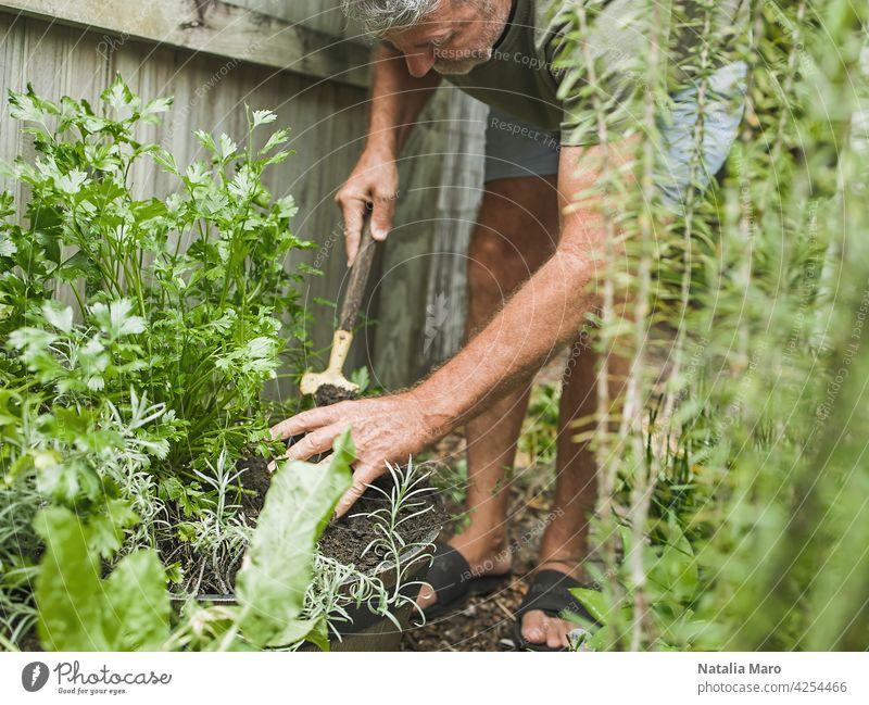 Senior Mann schneidet Rosmarin im Innenhof. Haus Gartenarbeit, Kräuter und Pflanzen im Garten Hof Natur Bewässerung Petersilie Blatt Basilikum Nur ein Mann