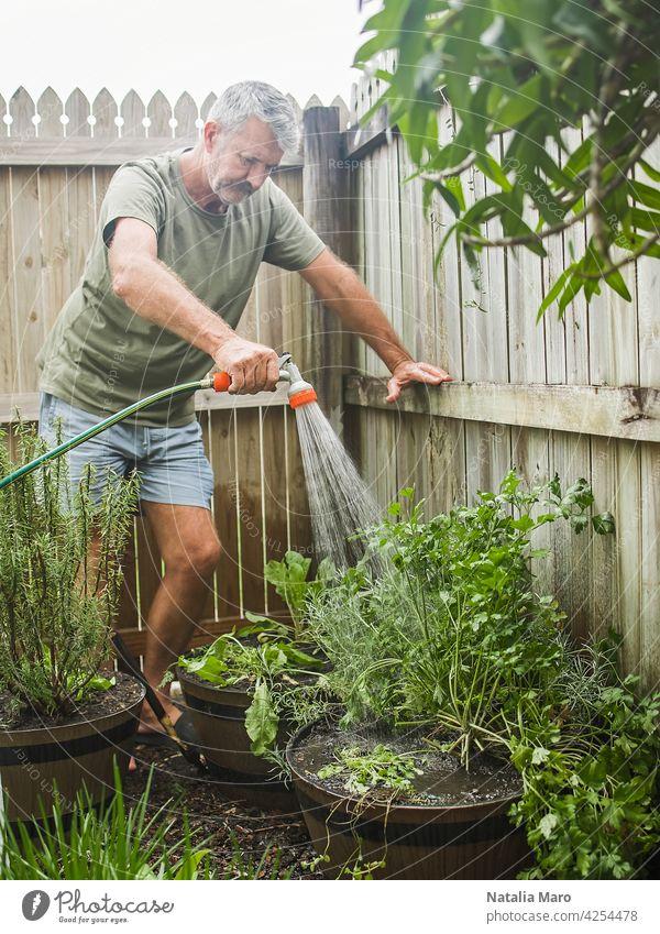 Senior Mann schneidet Rosmarin im Innenhof. Haus Gartenarbeit, Kräuter und Pflanzen im Garten Hof Natur Bewässerung Blatt Nur ein Mann Küchenkräuter