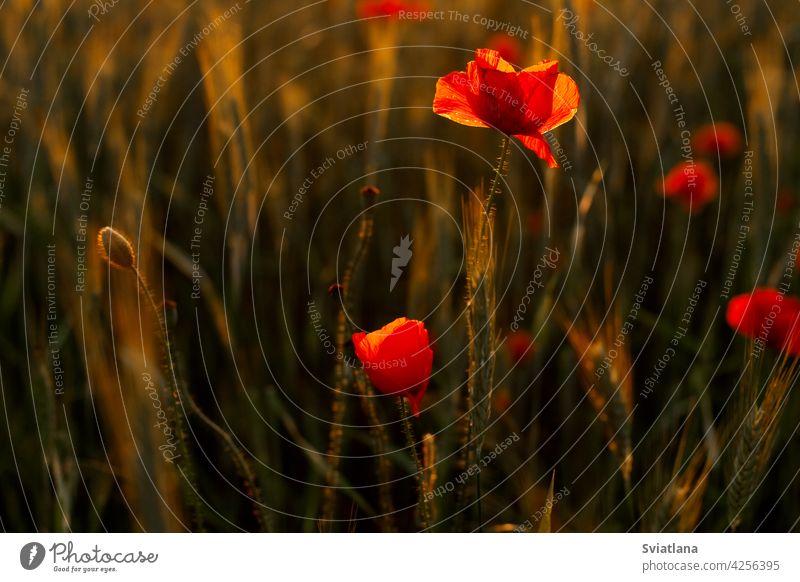 Ein Feld mit blühenden leuchtend roten Mohnblumen bei Sonnenuntergang. Floraler Hintergrund, heller Hintergrund Blume natürlich Natur Blüte Tapete farbenfroh