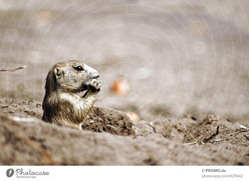 Waf für eine Aufficht! Tier Sand Essen braun Wildtier niedlich Neugier Fell Wachsamkeit Zoo Fressen Präriehund