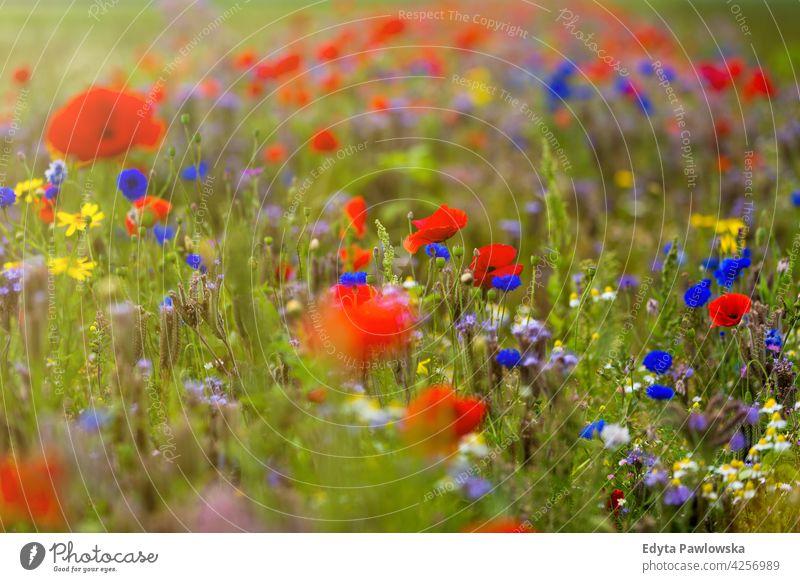 Schöne Sommer-Wildblumenwiese Feld Mohn Blume rot Natur Wiese Mohnblumen Blumen Frühling grün Landschaft Gras Blütezeit wild Garten Pflanze ländlich blau
