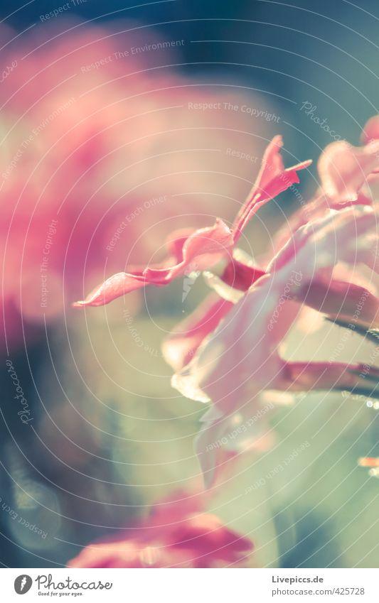 Blume im Sonnenlicht Natur schön Pflanze Sommer Landschaft Blatt Umwelt Wärme Blüte natürlich hell rosa wild leuchten