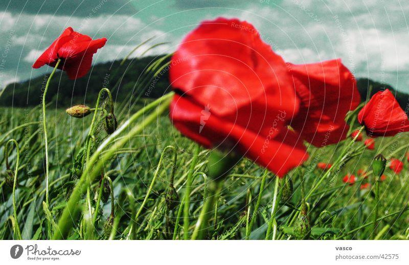 Mohn im Wind Himmel Blume Wolken Wiese Blumenwiese