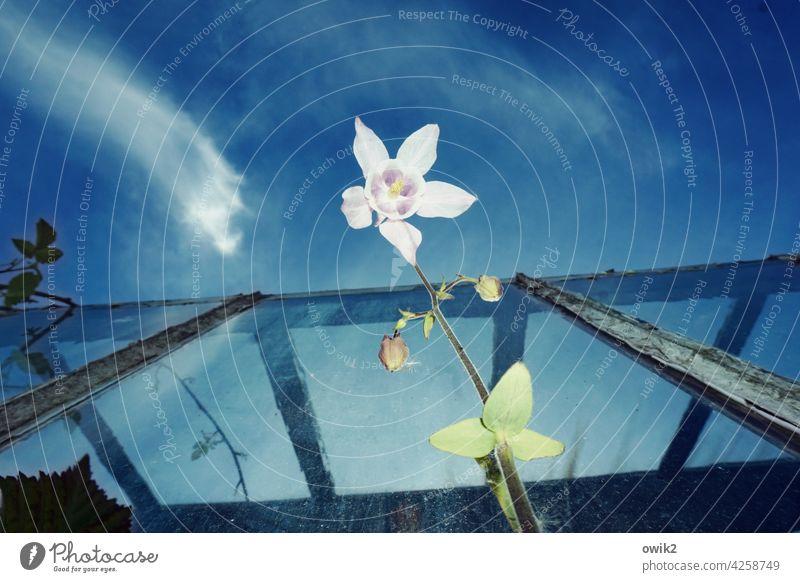 Lampenschirm Akelei Blüte Natur Garten Himmel Frühling Blume Nahaufnahme Außenaufnahme Farbfoto Tag Textfreiraum oben Frühlingsgefühle Vergänglichkeit weiß blau