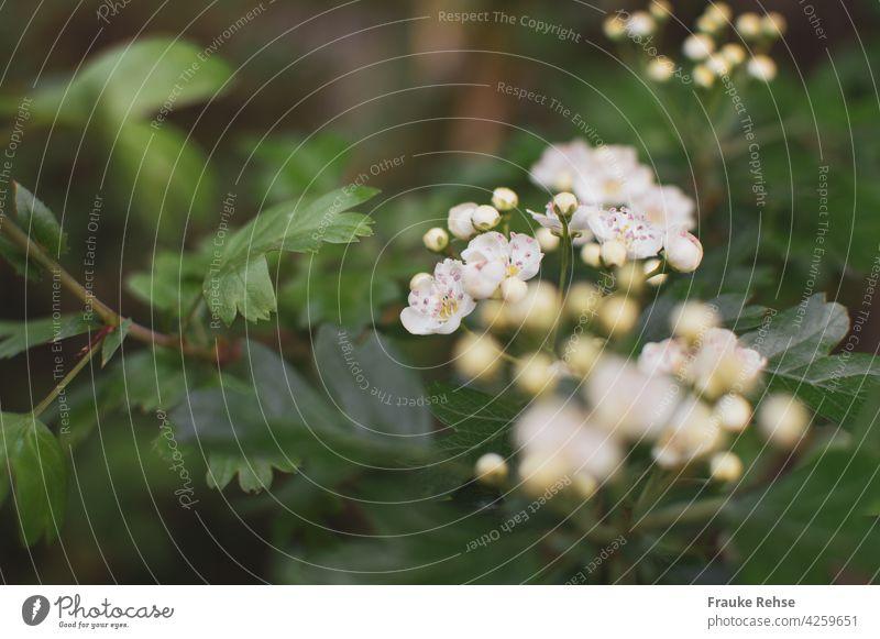 Buschweißdorn mit Blüten und Knospen Weiße Blüten Weißdornblüte Eingriffliger Unschärfe Frühling natürlich blühend erblühend zart klein Hagedorn
