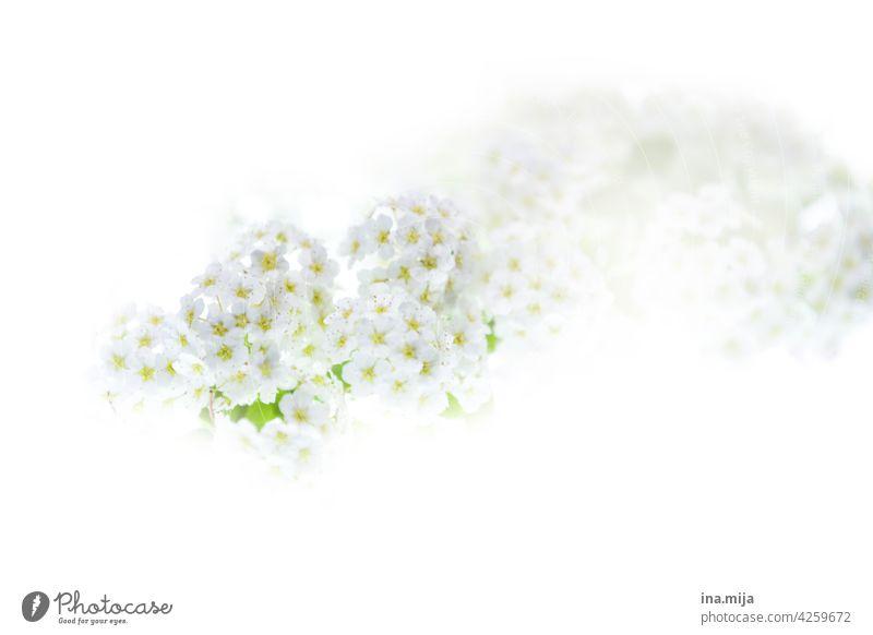 weiße Blüten Frühling zart blühen Duft duftend schön Garten Natur Pflanze Blume Sommer Umwelt wunderschön Menschenleer Farbe rein Unschuld Nahaufnahme prächtig