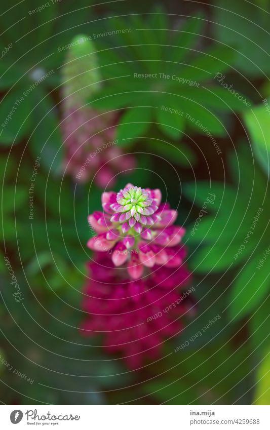 Blütezeit Pink rosa grün Garten Blume Pflanze Natur Blühend schön natürlich Frühling Sommer Blütenblatt Farbfoto ästhetisch pink Tag