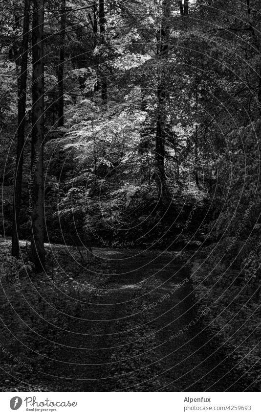 Licht im Dunkeln Wald Bäume Sonnenlicht Menschenleer Natur Außenaufnahme Baum Umwelt Schönes Wetter Schatten geheimnisvoll unheimlich Laubwald Sonnenstrahlen