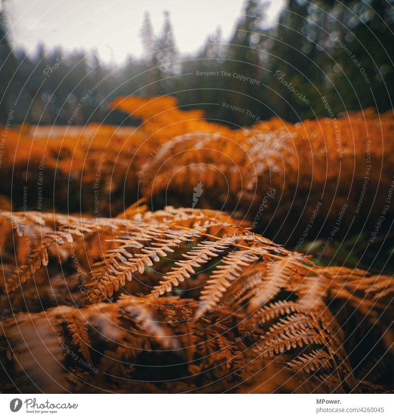 farn Farn Farnblatt Herbst herbstlich Nahaufnahme Wald Natur Pflanze Blätter orange Schwache Tiefenschärfe Umwelt Wildpflanze Detailaufnahme Menschenleer Urwald