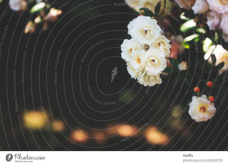 Rosen blühen im Schatten des Gartens Rosenstrauch Rosenblüte blühende Rosen Rosenduft Sommerblumen Romantik weiße Rosen duftende Blumen duftende Rose