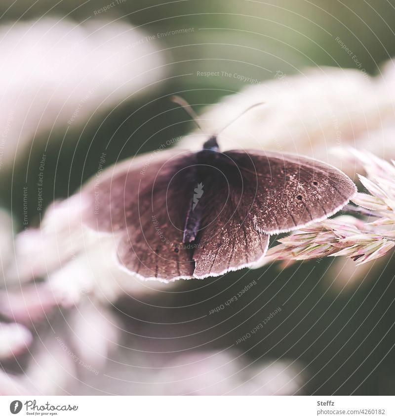 Brauner Waldvogel auf einem Grashalm Schmetterling Schornsteinfeger Aphantopus hyperantus Falter Edelfalter Tagfalter heimischer Schmetterling heimischer Falter
