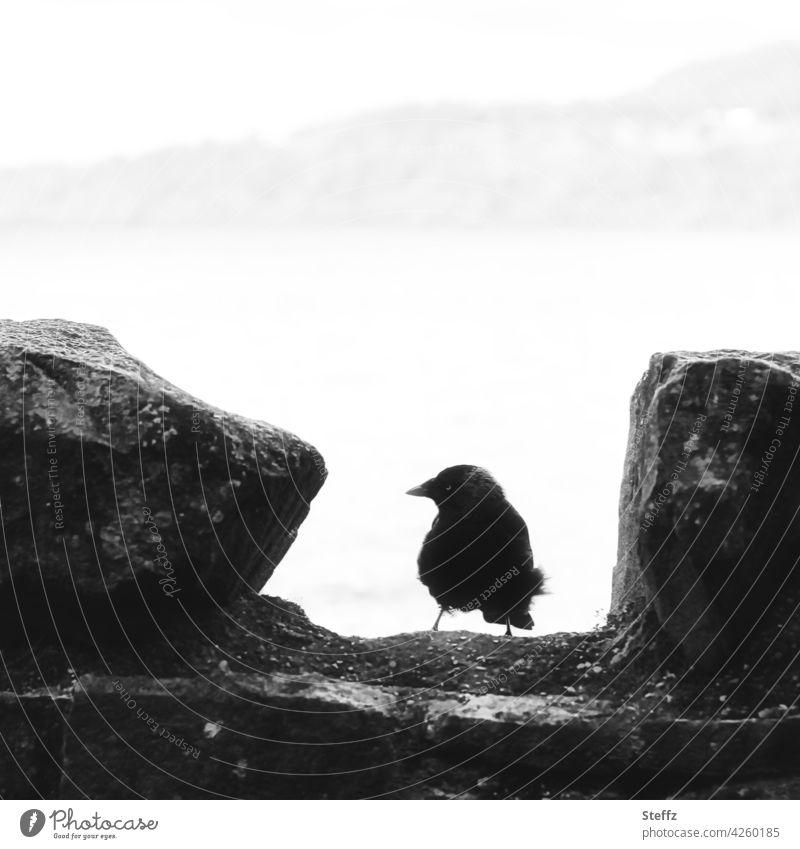 ein Wächter des schottischen Sees Vogel Dohle Mauer Silhouette Ausblick Schottland schwarzweiß Mauerstreifen Mauerreste schottischer See außergewöhnlich grau