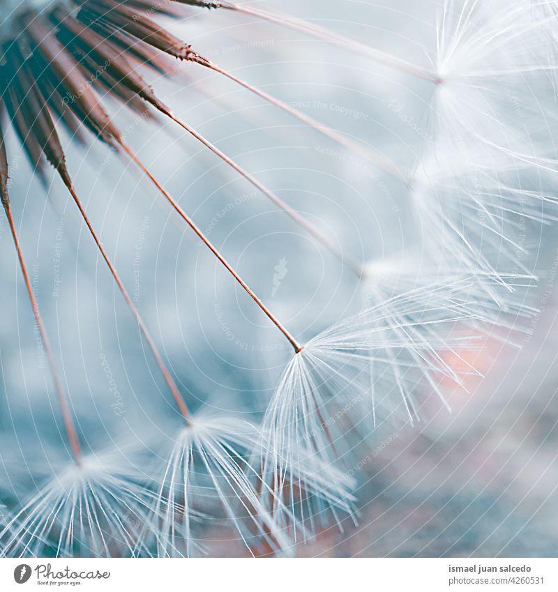 Romantischer Löwenzahnblüten-Samen im Frühling Blume Pflanze weiß blau geblümt Flora Garten Natur natürlich schön dekorativ Dekoration & Verzierung abstrakt