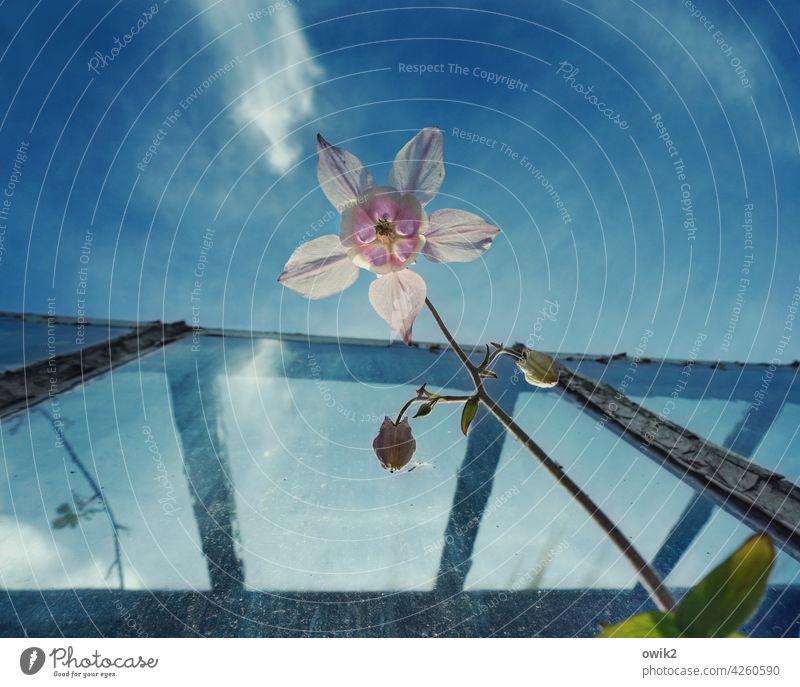 Frühling Akelei Pflanze Frühlingsblume anmutig dünn zerbrechlich Stengel Froschperspektive Blick nach oben elegant filigran Blütenstempel Blütenkelch zart