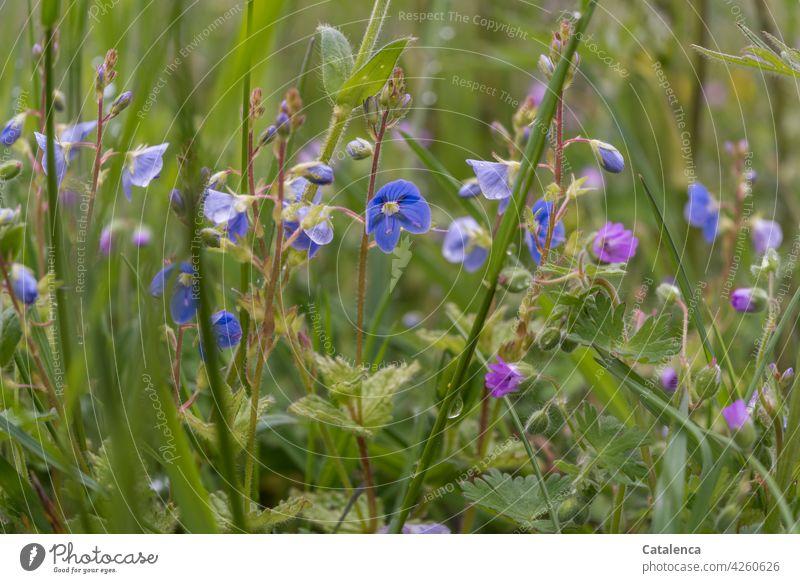 Ehrenpreis Wegerichgewächse Gamander Ehrenpreis Blau Grün Tageslicht Frühling Himmel Wiese Blumen Flora Pflanze Natur Wiesenblumen Blumenwiese