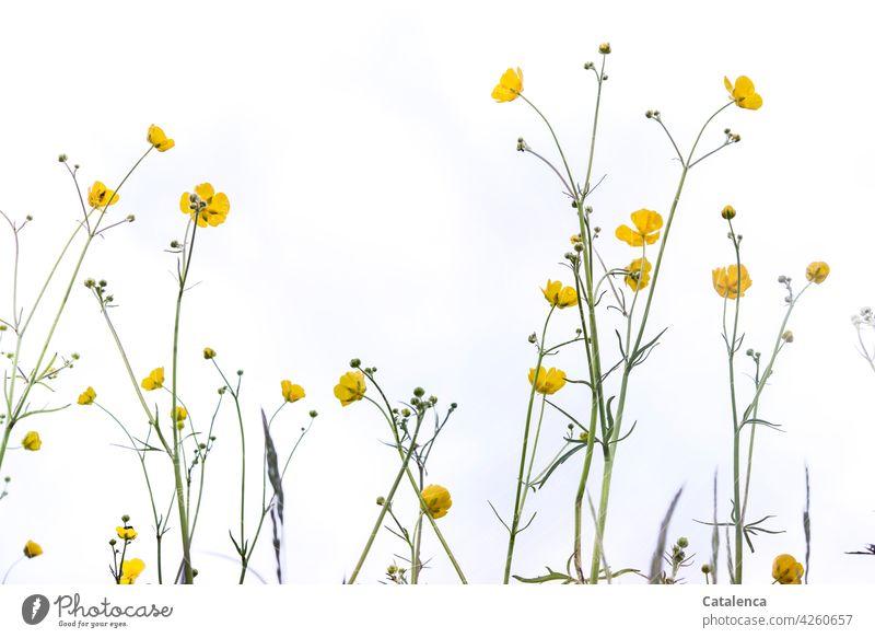 Ranunkel Natur Flora Pflanze Blume Unkraut Hahnenfuß Hahnenfußgewächse Butterblume Wiesenblume Blüte Blütenblätter Blatt Stiel Wiese Himmel Frühling Tag
