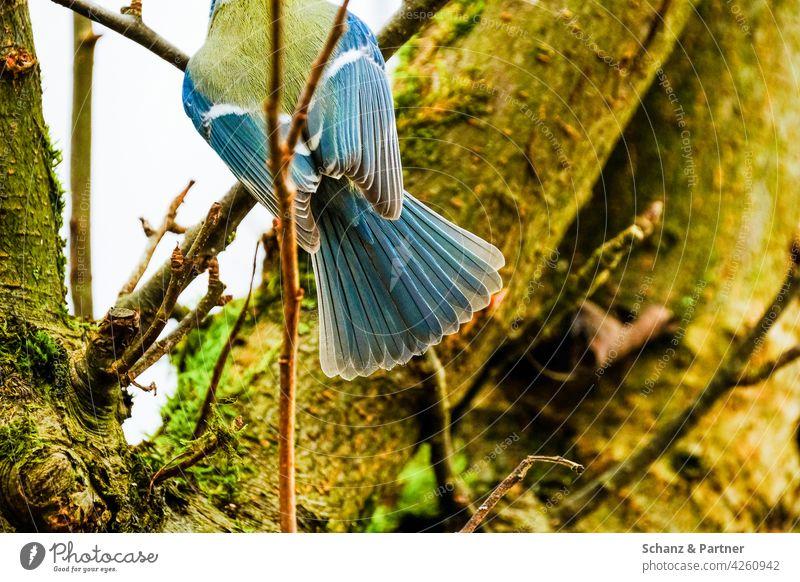 Rückansicht einer Blaumeise Federn Flügel Futter Futterstelle Garten Gartenvögel Gefieder Kohlmeise Meise Natur Nistplatz Paridae Parus major Singvogel