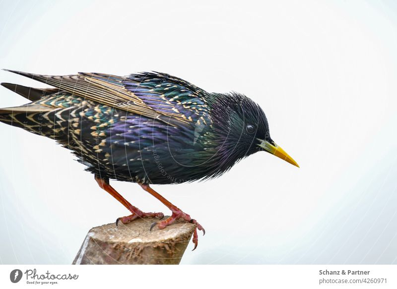 Star auf einem Ansitzast Vogel Gartenvogel Gartenvögel Gefieder buntes Schnabel Federn grün blau schimmernd Tier Natur Nahaufnahme Wildtier Tierporträt Flügel